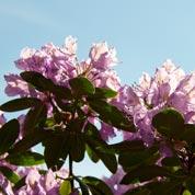 bloemen-rododendron_voor-site